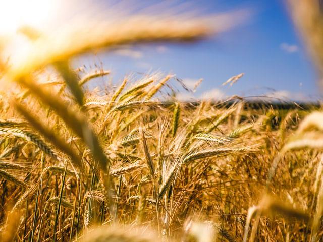 Szybkie zwalczenia chwastów kukurydza